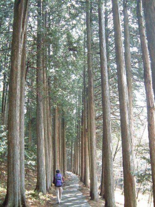 立派な杉並木