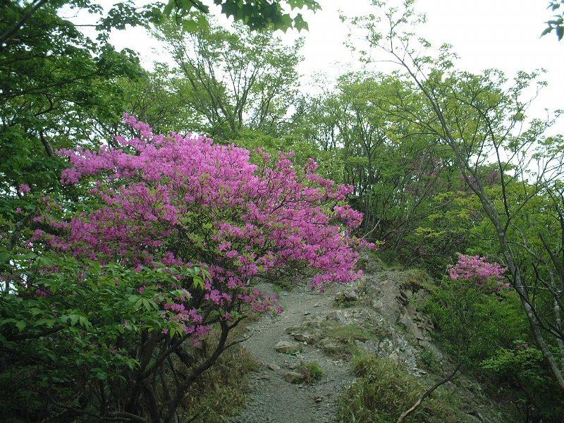 ツツジが咲いている