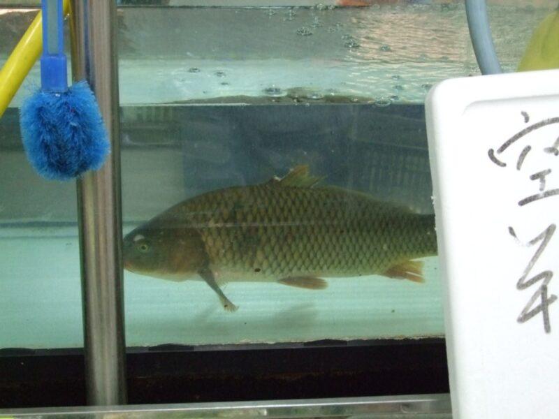 鯉とコンニチハ