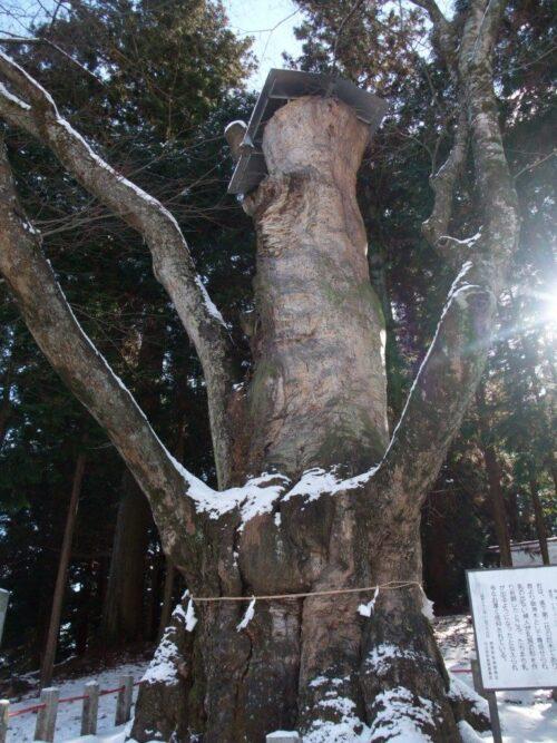 巨大なケヤキの木