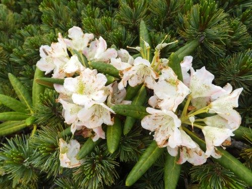 シャクナゲだけは花の名前がわかるのです