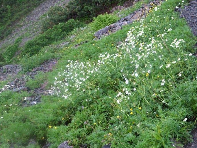 高山植物はここでも健在