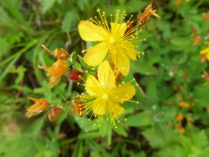 高山植物(2)