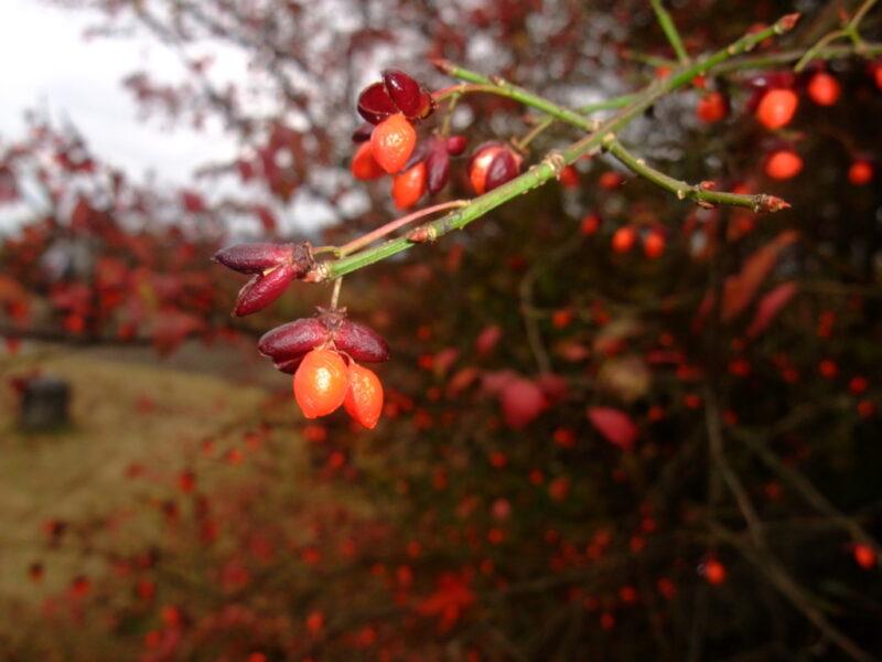 赤い実を付けている木