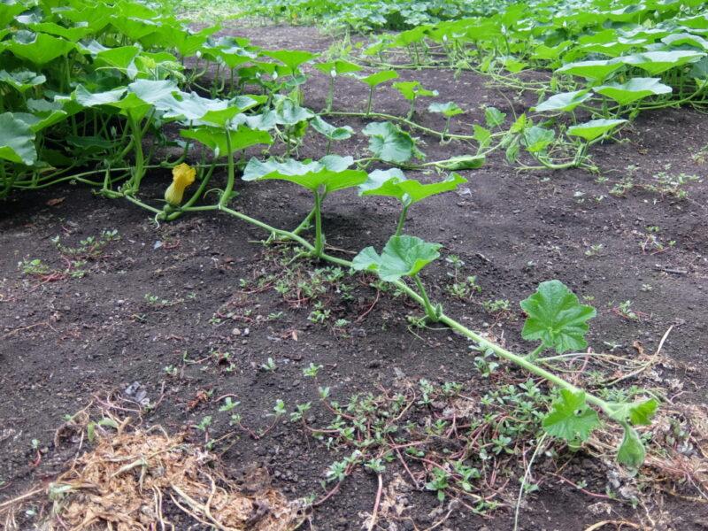 カボチャの茎は太くて長い
