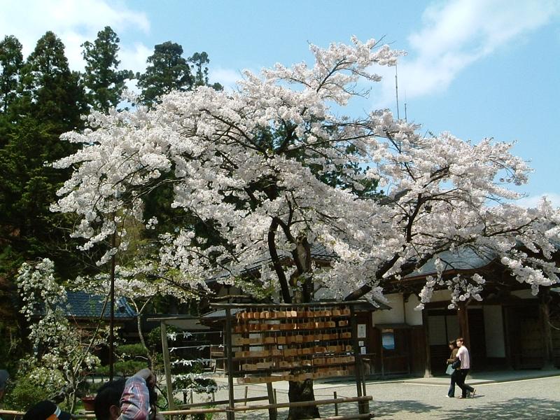 中尊寺携帯の桜