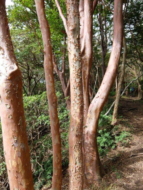 サルスベリみたいな木