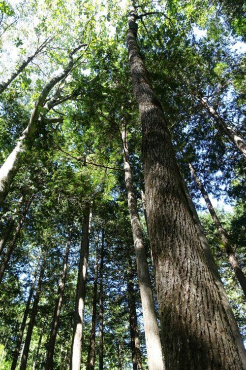 まっすぐに伸びる木