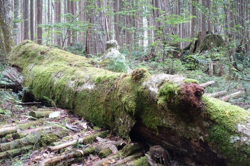 コケが生えた木