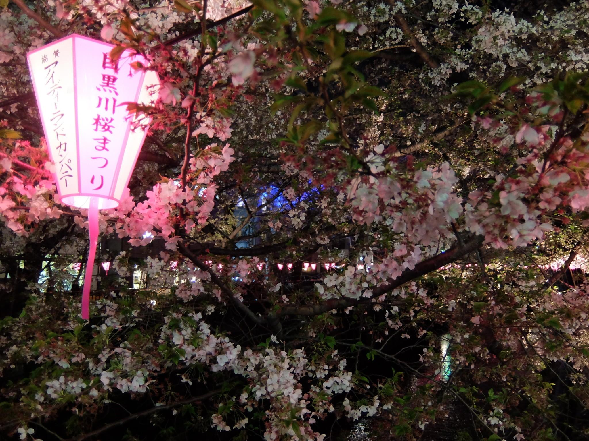 目黒川で花見
