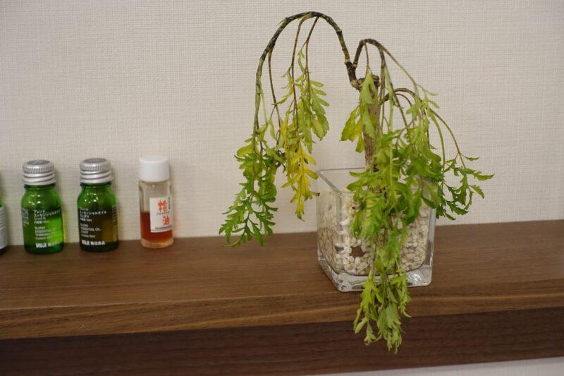 枯れそうな観葉植物