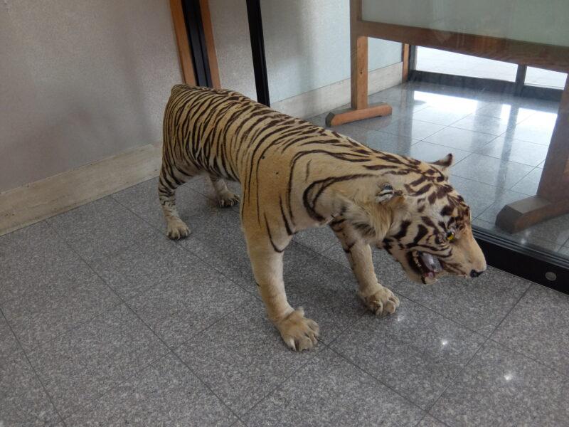 虎がお出迎え