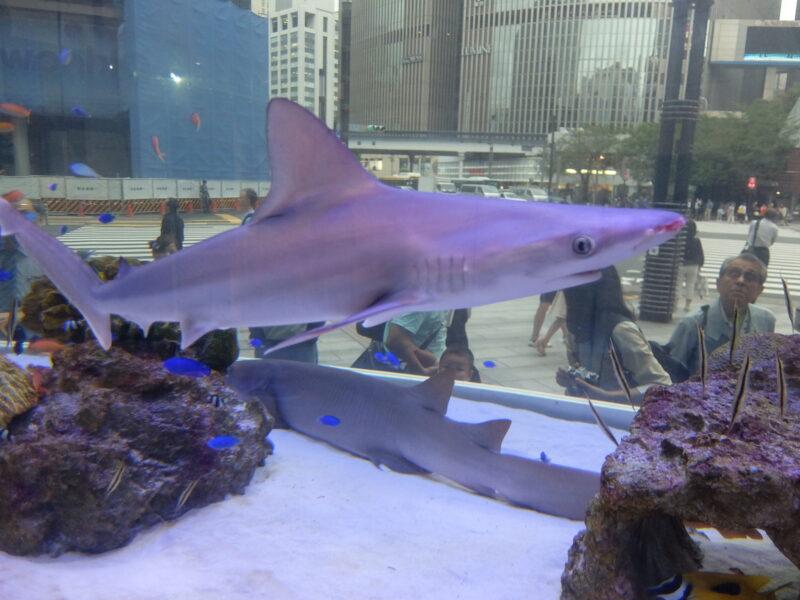 鼻が赤いサメ